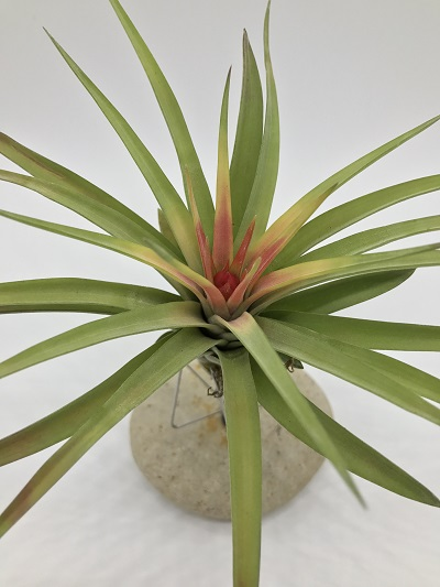 brachycaulos multiflora winter shape